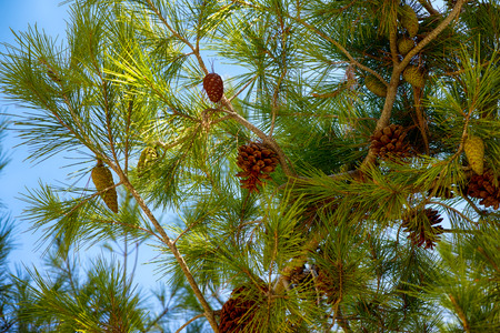 Cedar branches with cones. Blue sky background. Stock Photo