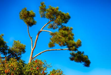 Top of the Cedar tree against blue sky.