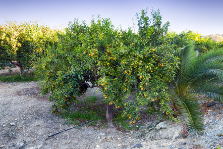 Mandarin trees with harvest in the orchard.