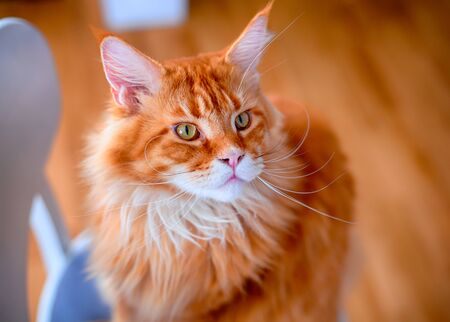Ginger Maine Coon cat sitting on chair. Closeup.