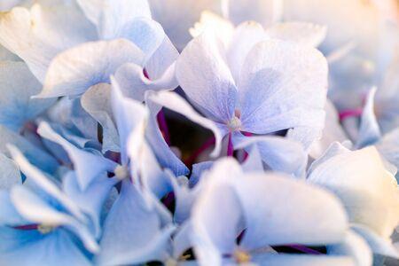 Closeup of light blue hydrangea background. Zdjęcie Seryjne - 132053552