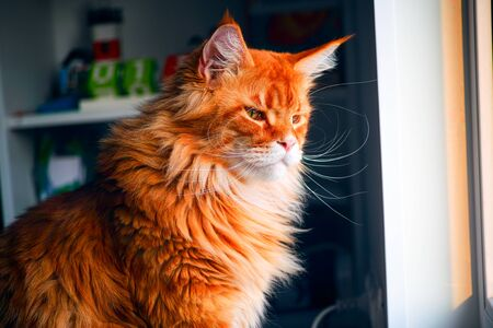 Ginger Maine Coon cat looking outside. Close-up. Stock Photo