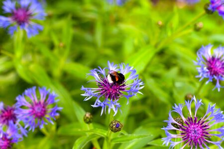 Bumblebee on cornflower in meadow. Non urban scene. Stok Fotoğraf - 149525117