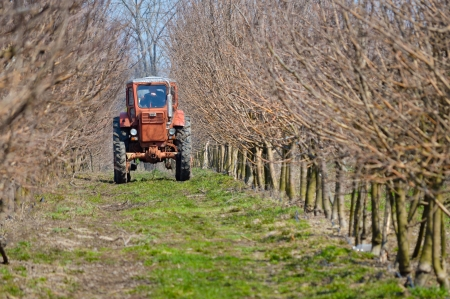 Old red tractor working in spring apple garden photo