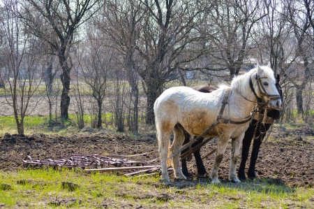 Two horses and plow in spring countryside garden ready to work photo