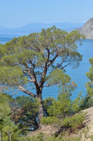Rare pine tree in Crimea on rock by Black sea
