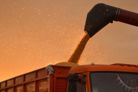 cosechadora: Combine la cosecha de maíz en el verano