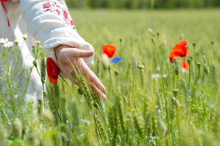 woman walking in a field of poppies touch them in the summer day photo