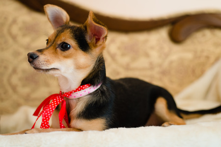 small cute pinup dog with red ribbon lying in bed looking to the woman closeup picture photo