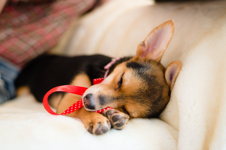 closeup portrait of small puppy with red ribbon sleeping on white bed photo
