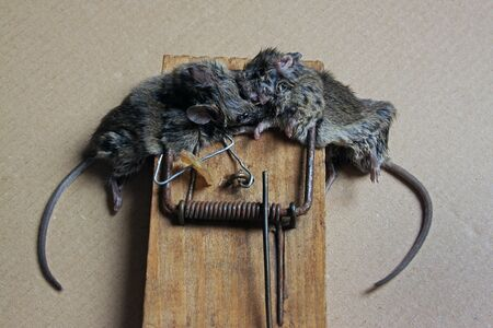 Two little dead mouse in trap on beige background. Selective focus