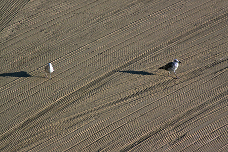 Two lonely seagulls on cleaned by a tractor sand on the Mediterranean Sea in the morning. Antibes, Cote dAzur, France. Great space for writing Stock Photo