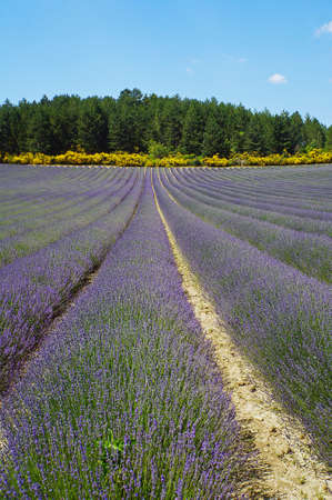 Lavender field on a sunny day in the south of France