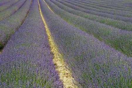 Lavender field on a sunny day in the south of France. Selective focus