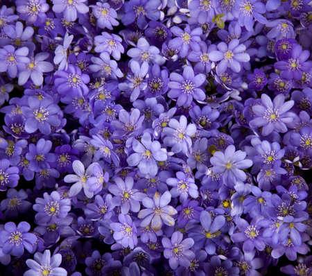 flor violeta: Purple flowers closeup textura