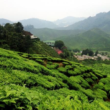 pahang: Tea plantation Cameron Highlands Pahang Malaysia Stock Photo