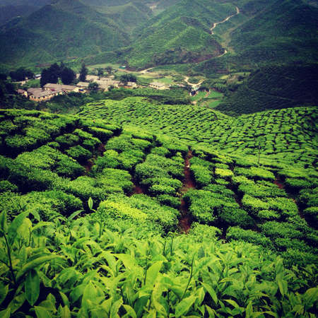 pahang: Tea Plantations
