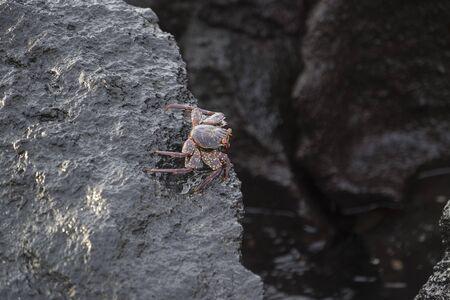 galapagos: Sally Lightfoot Crab on rock in Galapagos Islands Stock Photo