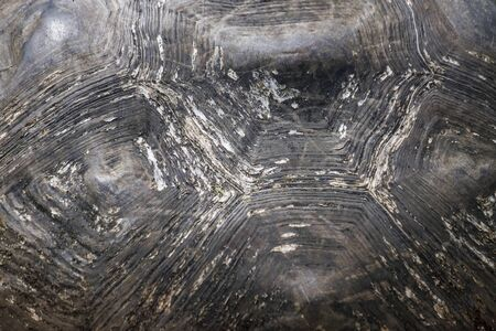 plastron: Close-up of the shell showing growth rings and patterns of a Galapagos giant tortoise