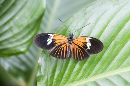 longwing: Beautiful orange and black Doris Longwing (Laparus Doris) Butterfly sitting on large shiny green leaves Stock Photo