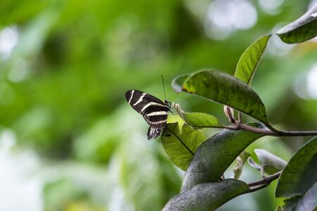 longwing: Beautiful black and yellow Zebra Longwing (Heliconius Charithonia) Butterfly
