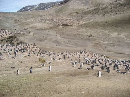 as far as the eye can see: Chinstrap penguins as far as the eye can see at Brown Bluff, Antarctica