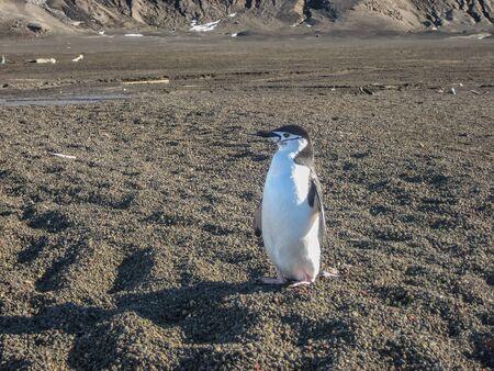 deception: Single chinstrap penguin on Deception Island, Antarctica