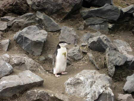 expeditions: One chinstrap penguin on rocks at Brown Bluff, Antarctica