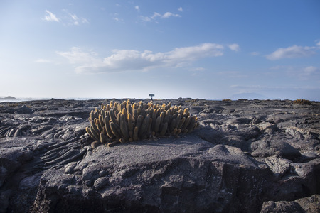 inhospitable: A group of lava cacti grows in the barren landscape of lava rocks on Galapagos Islands