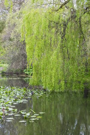 weeping willow: Beautiful Weeping Willow with its leaves and branches reflected in a pond