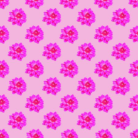 asteraceae: Seamless repeat pattern of vivid pink dahlia (Asteraceae) flowers against pale pink background