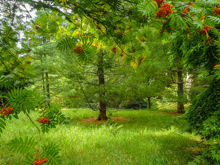 beautiful woodland: Beautiful woodland scene of sun shining on rowan trees with their red berries and soft green grass