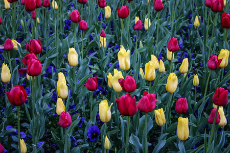 Colorful array of vibrant tulips and pansies. Deep red, pale yellow tulips and purple pansies. Stock Photo