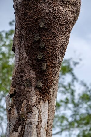 Group of proboscis bats, rhynchonycteris naso, camouflaged against a tree trunk in the Peruvian Amazon rainforest