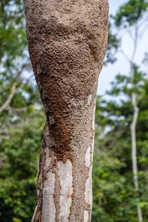 Colony of proboscis bats, rhynchonycteris naso, on side of a tree trunk in the Peruvian Amazon rainforest