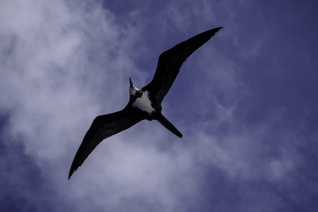 Overhead shot of large wingspan and black and white plumage of female Ascension frigatebird, fregata aquila, in flight over Boatswain Bird Island in South Atlantic
