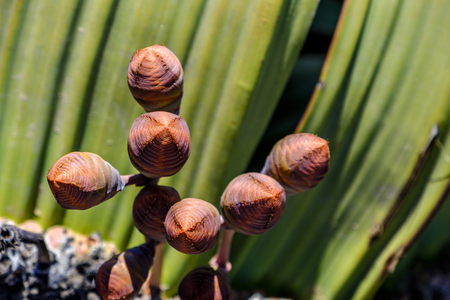 Close up of female cones and large leaves of the unique Welwitschia Mirabilis plant, native to Namibia and named after the Austrian botanist and doctor Friedrich Welwitsch. Stock Photo