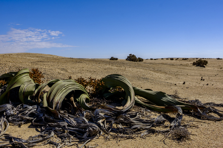 Male Welwitschia Mirabilis plant, named after the Austrian botanist and doctor Friedrich Welwitsch, with its large leaves and cones in the bleak landscape of Namib Naukluft National Park. Species native to Namibia Stock Photo