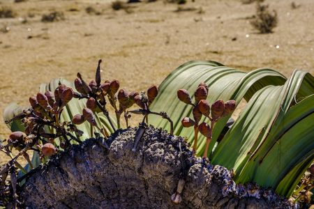 Close up of female cones and large leaves of the unique Welwitschia Mirabilis plant, native to Namibia against arid background of Namib desert Stock Photo