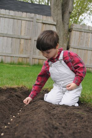 A little boy plants a row of bean seeds in a freshly dug furrow in spring photo