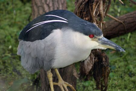 fat bird: Black Crowned Night Heron Stock Photo
