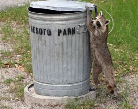 turn over: Caught in the act; racoon about to turn over a garbage can