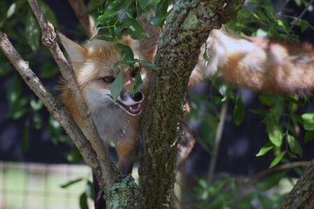 treed: Fox in a Tree