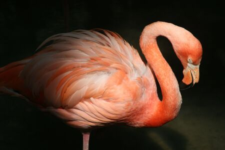 Flamingo in Shadow
