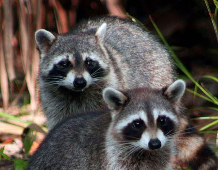 buddies: Racoons