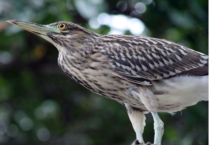 immature: Immature black crowned night heron
