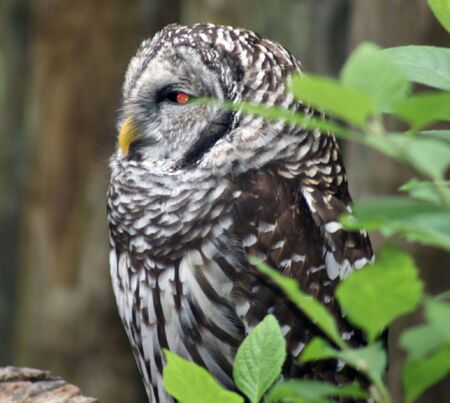Barred Owl Stock Photo - 3690378