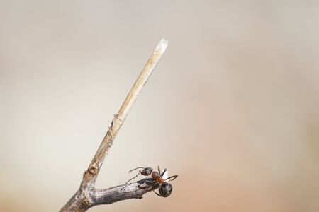Formica rufa, red wood ant on a branch in a soft background composition
