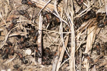 Formica rufa anthill, red wood ant anthill composition Stock Photo