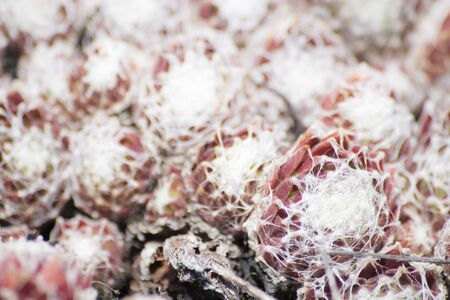 Red and green succulent plants with cobwebs composition